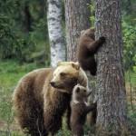 Brown bear 0613-2