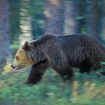 Brown bear 0613-3