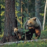 Brown bear 0613-4