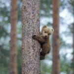 Brown bear 0613-5