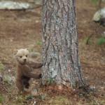 Brown bear 0613-6