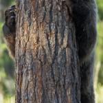 Brown bear 0613-7