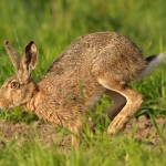 Brown hare 0514