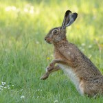 Brown hare 0611
