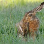 Brown hare 0611 2