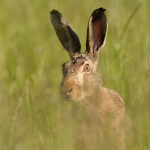 Brown hare 0615-2