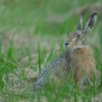 Brown hare 0807