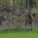 Elk 0517