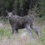 Elk 0517-3