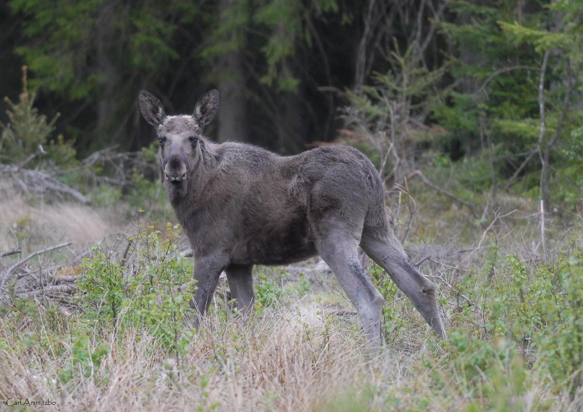 Eurasian elk - photo#25
