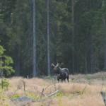 Elk 0704