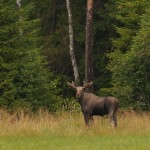 Elk 0728