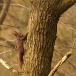 REd squirrel 0403