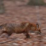 Red fox 0316