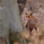 Red fox 0316-2