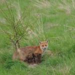 Red fox 05-10