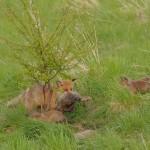 Red fox 05-14