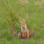 Red fox 05-14 2