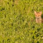 Red fox 05-23