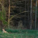 Red fox 0518