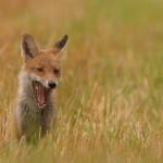 Red fox 08-18
