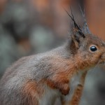 Red squirrel 0125