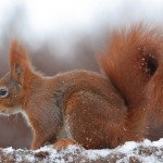 Red squirrel 0206