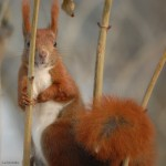 Red squirrel 0214