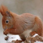 Red squirrel 0313