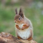 Red squirrel 0502