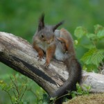 Red squirrel 0519