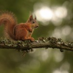 Red squirrel 0805