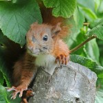 Red squirrel 0807