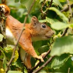 Red squirrel 0817