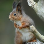 Red squirrel 1012