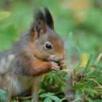 Red squirrel 1012 rigtig