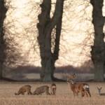 Roe deer 0301