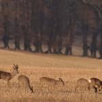 Roe deer 0315