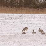 Roe deer 0319