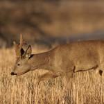 Roe deer 0403