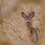 Roe deer 0403-2