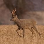 Roe deer 0410
