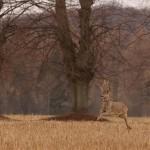 Roe deer 0410-2