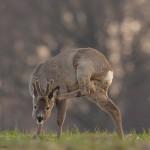 Roe deer 0422