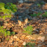 Roe deer 0512