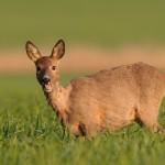 Roe deer 0514