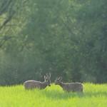 Roe deer 0515