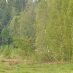 Roe deer 0526