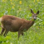 Roe deer 0531
