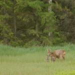 Roe deer 0603